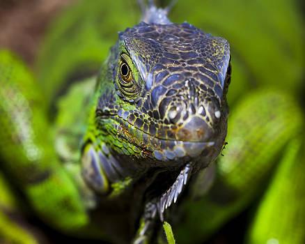 Iguana Stare by Mark Andrew Thomas