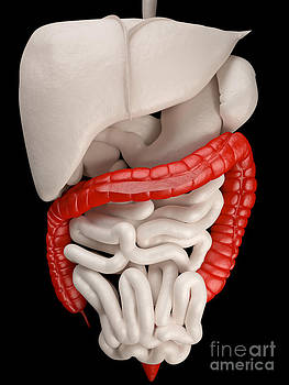 David Marchal - Illustration Of Digestive System