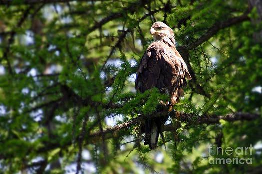 Bob Hislop - Immature Bald Eagle