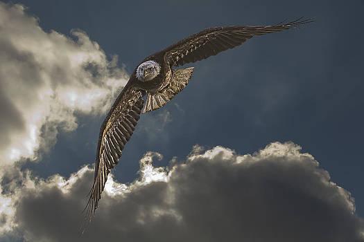 Jack R Perry - Immature Bald Eagle
