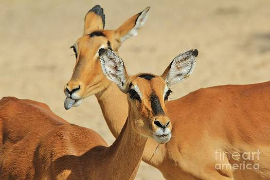 Hermanus A Alberts - Impala - Faces of Fun