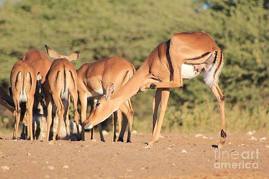 Hermanus A Alberts - Impala - That Itch