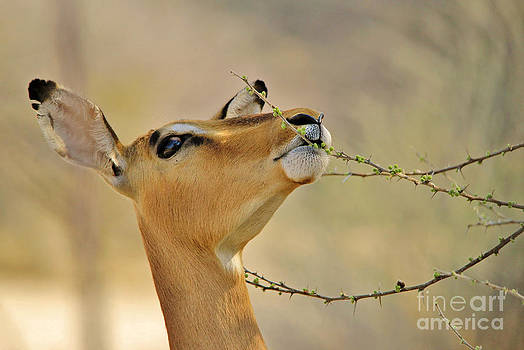 Hermanus A Alberts - Impala Chewing Buds