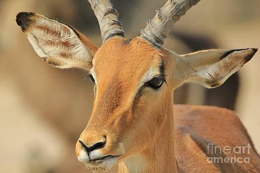 Hermanus A Alberts - Impala Grin of Content