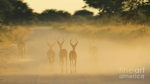 Hermanus A Alberts - Impala Herd Silhouette