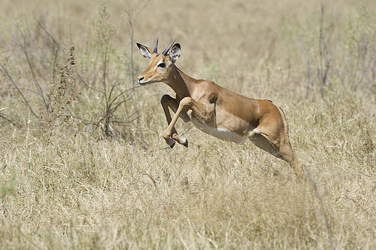 Impala leaping through savanna by Richard Berry