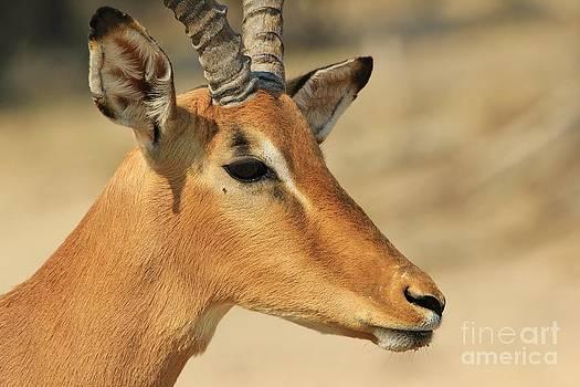 Hermanus A Alberts - Impala Ram Pose