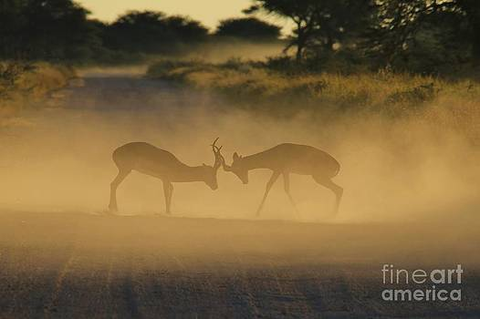 Hermanus A Alberts - Impala Territorial Fight of Shadows