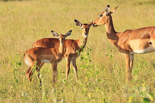 Hermanus A Alberts - Impala Whispers of Love