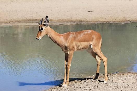 Hermanus A Alberts - Impala Young Life