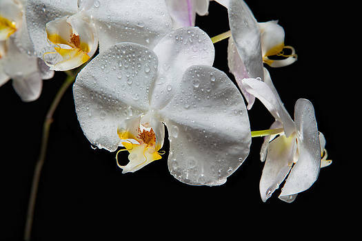 Impeccable Orchid by David Kittrell