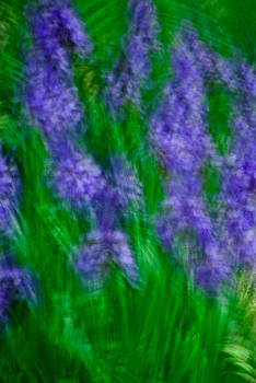 onyonet  photo studios - Impression of Siberian Irises