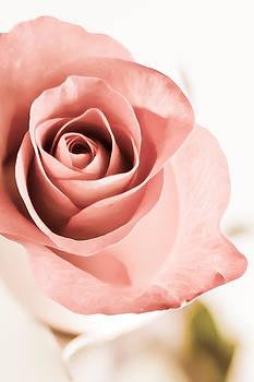 Elvira Pinkhas - In depths of a Rose