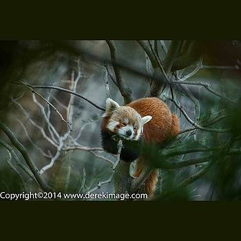 In Honor Of Shama, The Red Panda That by Derek Kouyoumjian