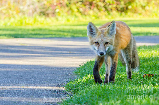 Alanna DPhoto - Red Fox