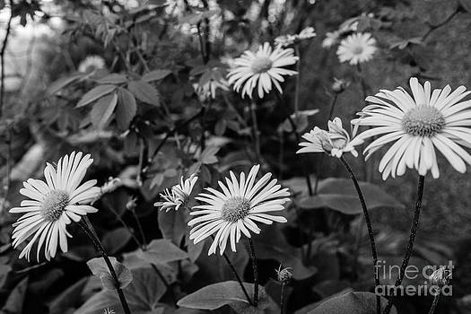 Ismo Raisanen - In the Garden - Doronicum cordatum