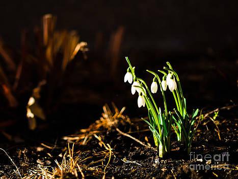 Ismo Raisanen - In the Garden - Snowdrop