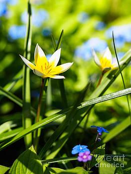 Ismo Raisanen - In the Garden - Tulipa tarda