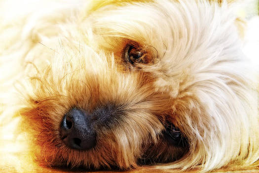 In Your Yorkie Dreams by Lincoln Rogers