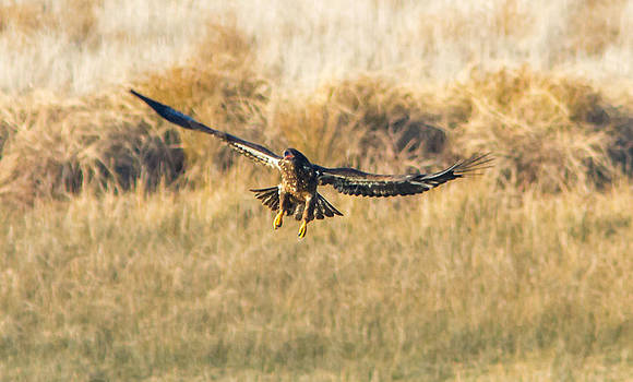 Incoming Golden Eagle by Brian Williamson