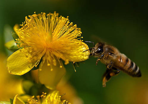 Incoming Honey Bee by Dave Weth