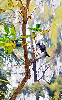 Kantilal Patel - Indian Black Drongo with juicy Grub