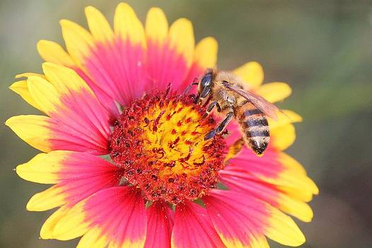 Indian Blanket aka Firewheel and Bee by Lorri Crossno