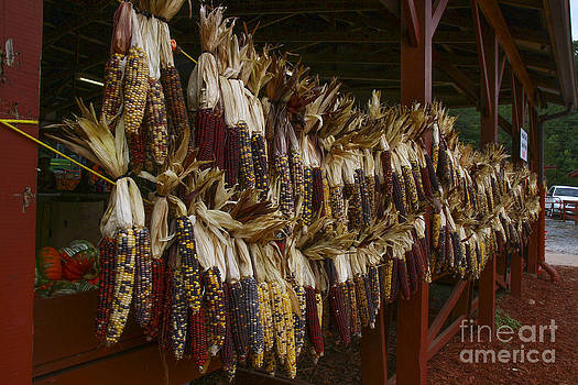 Barbara Bowen - Indian Corn harvest