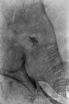 Darren Wilkes - Indian Elephant Texture