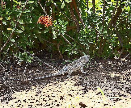 Kantilal Patel - Indian Garden Lizard given a makeover