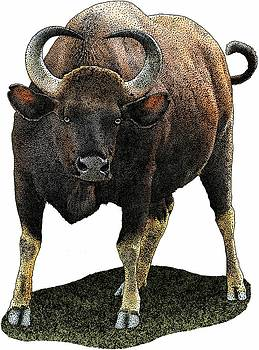 Indian Gaur by Roger Hall