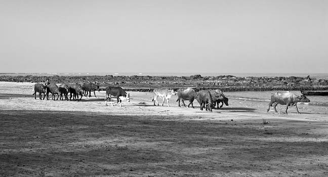 Kantilal Patel - Indian herd spend a day at Seaside