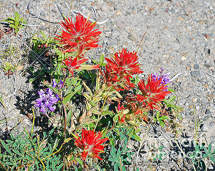 Connie Fox - Indian Paintbrush. C. Affinis. Near Mount St. Helens