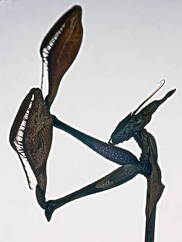 Indian Rose Mantis Gonglus gongylodes Wondering Violin Mantis  1 of 3 by Leslie Crotty
