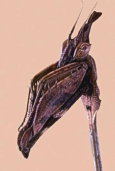 Indian Rose Mantis Gonglus gongylodes Wondering Violin Mantis 2 of 3 by Leslie Crotty