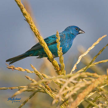 Indigo bunting on sweet corn by Don Anderson