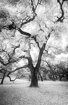 Infrared Oak by Micah Dimitriadis