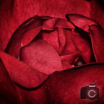Inner Rose #flowersbydl by David Lopez
