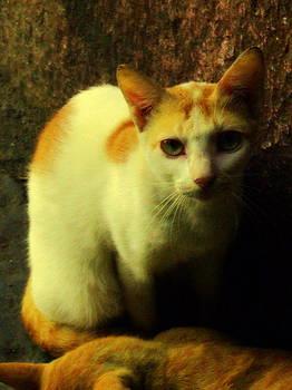 Innocent Cat by Salman Ravish
