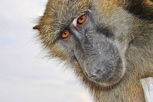 Inquisitive Ape by Paul Fox