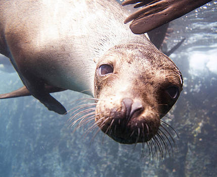 Inquisitive Sea Lion by Julie VanDore