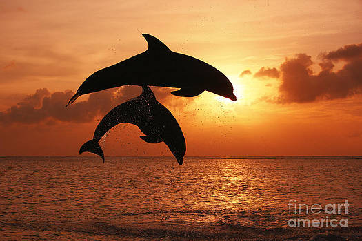 inspirational photo of two Bottlenose Dolphins leaping together side by side at sunset by Brandon Cole