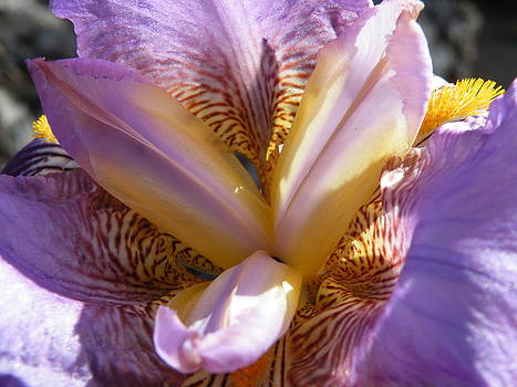 Intimate Iris I by Claire Plowman
