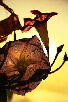 Ipomoea Rising Sun Behind 2 by Steven A Bash