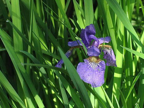 Iris after rain by Mark C Ettinger