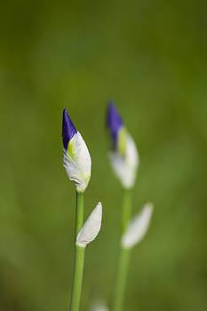 Iris Buds Vertical by Martin Joyful