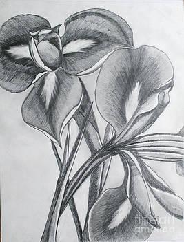 Iris by Cecilia Stevens