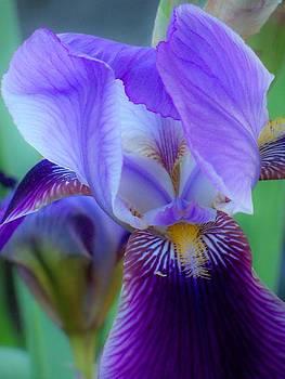 Iris Dream by Nancy Andersen