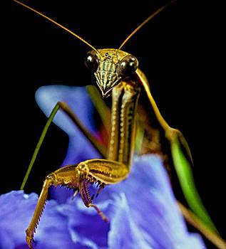 Macro Closeup Of The Praying Mantis On A Blue Iris Flower by Leslie Crotty