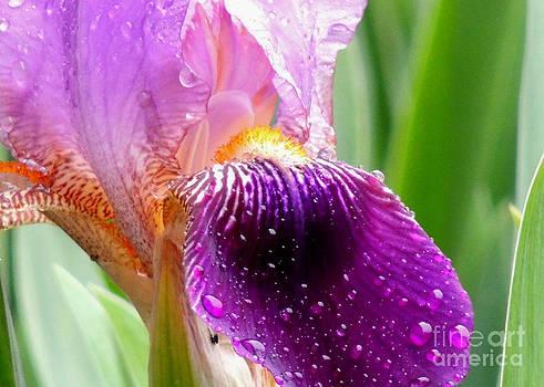 Iris Glistening by Pamela Rivera